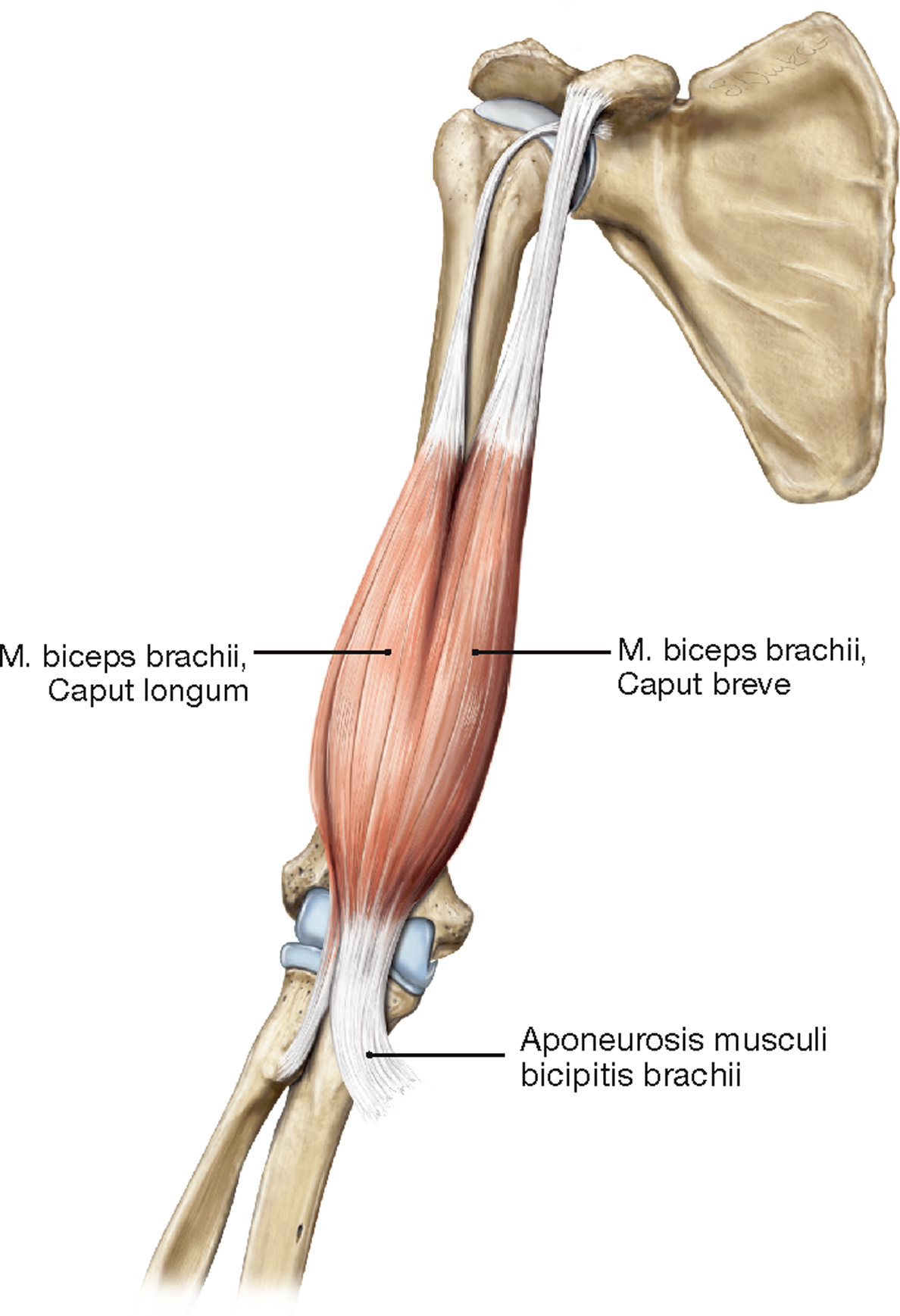 Schön Bizeps Muskeln Anatomie Bilder - Menschliche Anatomie Bilder ...