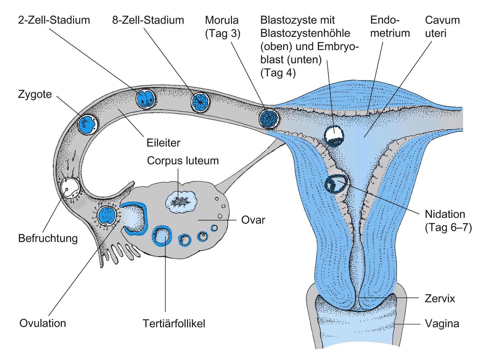 wie funktioniert eine befruchtung