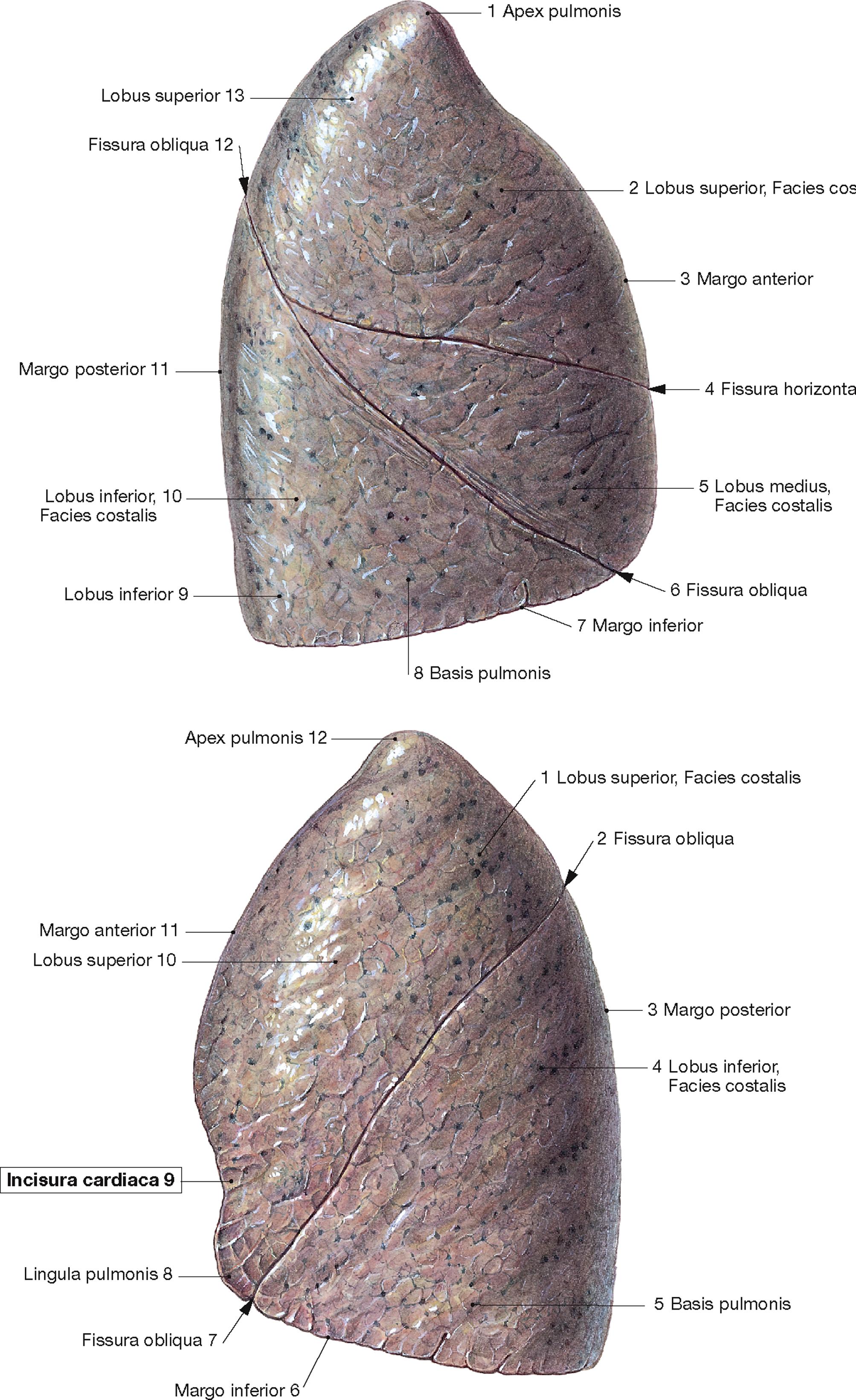 menschliche lunge bilder